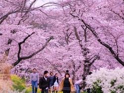 国営武蔵丘陵森林公園でお花見