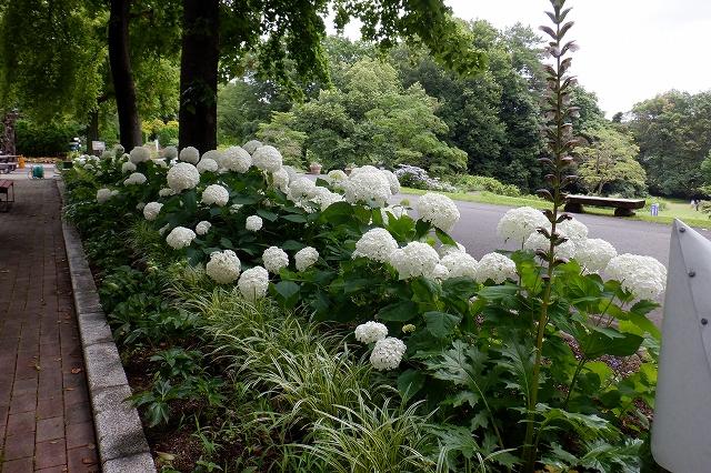 緑から純白、そしてまた緑に変化するアナベル(6/24植物園展示棟前)