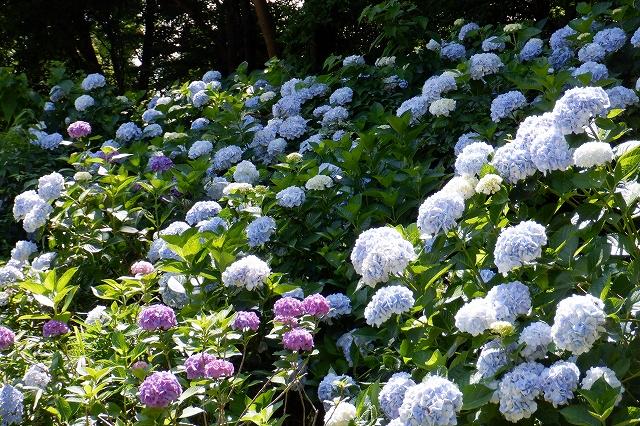 国営武蔵丘陵森林公園のあじさい