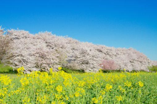 埼玉県の桜・お花見をするならここ!