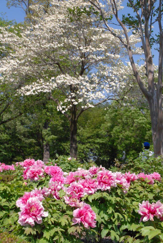 東松山ぼたん園「ぼたんまつり」